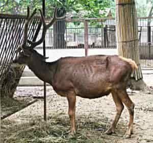 Біломордий олень